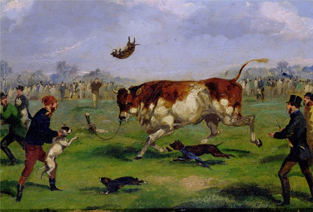 bull baiting historical image