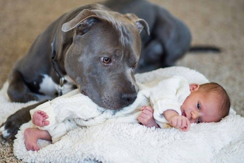 pitbull with a baby