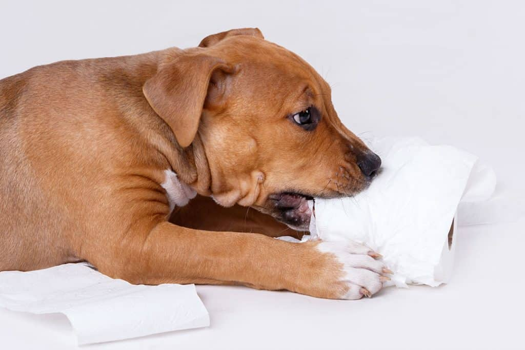 pit bull puppy chewing a toilet paper roll