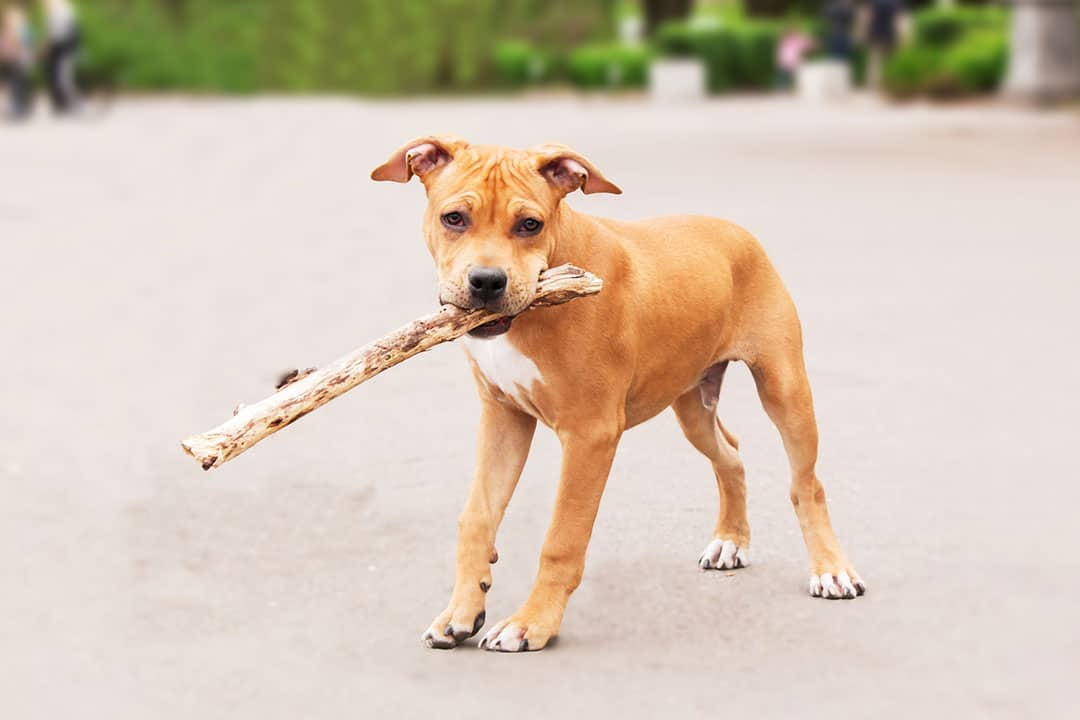 staffordshire terrier puppy playing with a branch