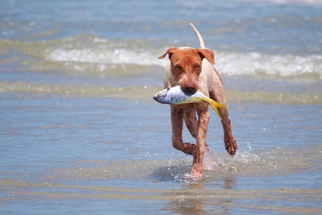 dog bringing a live fish from the sea