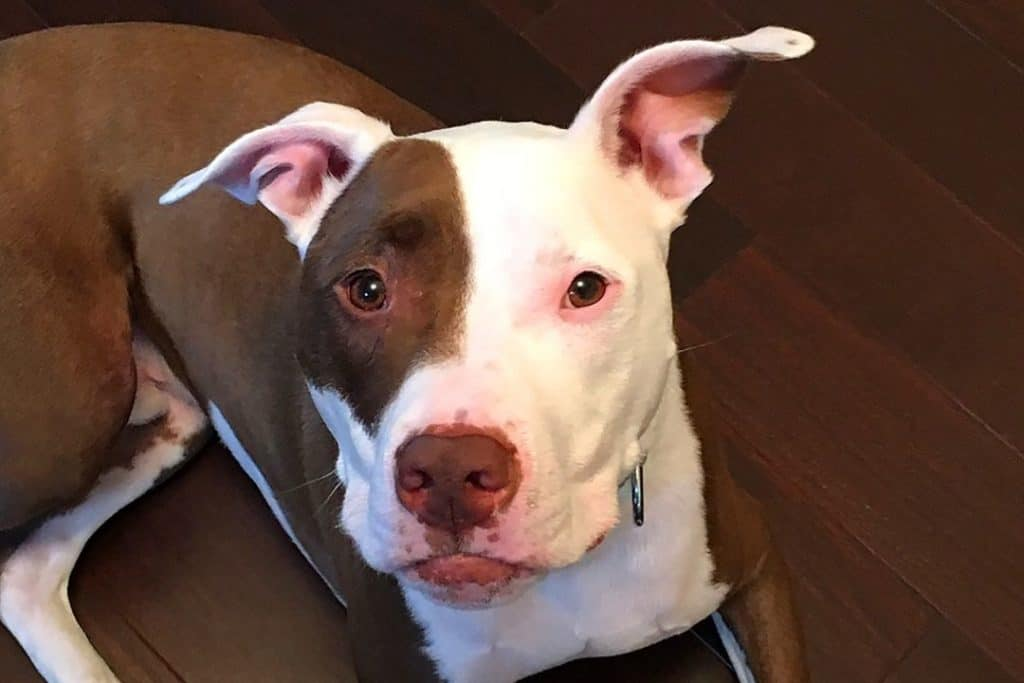 american pitbull with a curious face