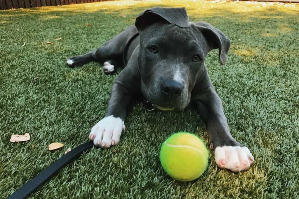 pitbull puppy playing with a tennis ball