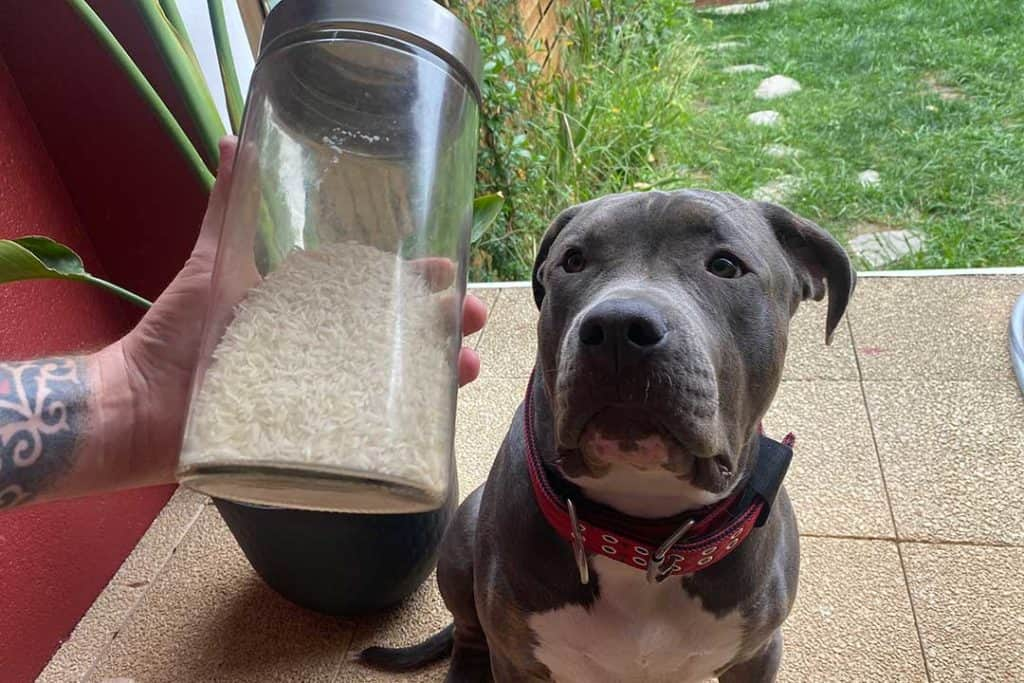 American bully with a jar full of rice